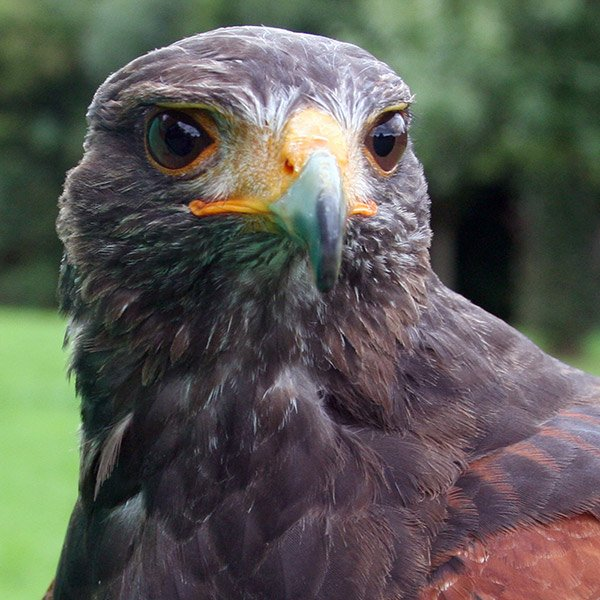 Muttley Harris Hawk